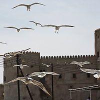 Barka, Sultanate of Oman 27 March 2009.Birds flying over Barka's castle..PHOTO: EZEQUIEL SCAGNETTI