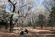 People hold small picnic parties despite measures to avoid people gathering for Hanami parties under the cherry blossoms in Yoyogi Park, Shibuya, Tokyo, Japan. Friday March 26th 2021, Though Tokyo lifted its Coronavirus State of  Emergency at midnight on March 21st the annual Hanami , cherry blossom parties and other gatherings of large number of people are still limited and discouraged.