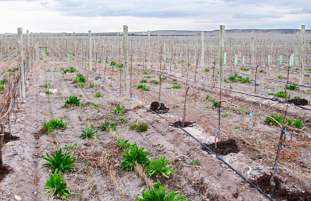 View over the vineyard, sandy soil and young vines, drip irrigation. Bodega NQN Winery, Vinedos de la Patagonia, Neuquen, Patagonia, Argentina, South America