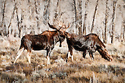 Artistic effects applied to a photo of a bull and cow moose pair in Grand Teton National Park near the end of the fall rut.
