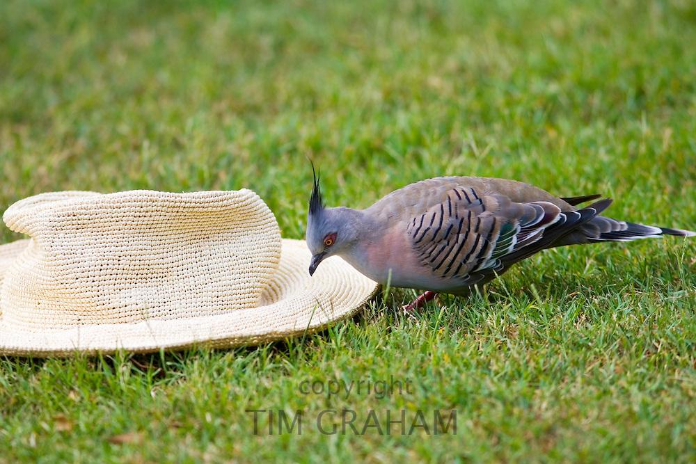 Crested pigeon pecks at panama sunhat in the Royal Botanical Gardens, Sydney Australia