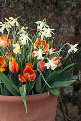 Narcissus 'W.P. Milner' with Tulipa 'Princes Irene' and  Tulipa 'Orange Favourite' in a terracotta pot
