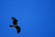Osprey in flight - Mississippi.