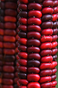 Close-up photo of antique variety red corn at the Common Ground Fair farmers market, Unity Maine.