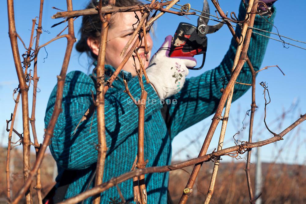 grape vines pruning France Languedoc