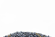 Chambourcin grapes sit in a bin – holding just under a ton of the fruit – after being harvested by machine at Montelle Winery in Augusta, Missouri. One ton of grapes typically makes 160 gallons of wine. The winery expected to harvest approximately 30 tons of the French-American hybrid grape.