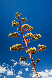 Blooming century plant (Agave _____), Ladder Ranch, New Mexico, USA.