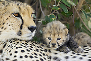 Cheetah<br /> Acinonyx jubatus<br /> Mother and 17 day old cub<br /> Maasai Mara Reserve, Kenya