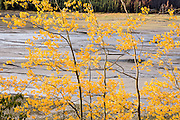 Aspen leaves glow yellow in mid September along Maligne River at Medicine Lake, in Jasper National Park, Canadian Rockies, Alberta, Canada. Located in the Maligne Valley watershed, Medicine Lake is not really a lake but is a natural back up in the Maligne River that suddenly disappears underground. Jasper is the largest national park in the Canadian Rocky Mountain Parks World Heritage Site declared by UNESCO in 1984.
