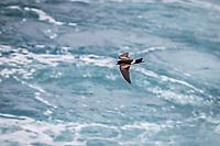 Galapagos Storm Petrel