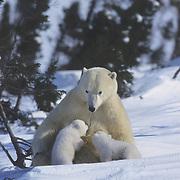 Polar bear (Ursus martimus) mother nursing her very young cubs. Wapusk National Park, near Churchill, Manitoba, Canada