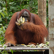 An orangutan female feeding on bananas and sugar cane at a feeding station in Tanjung Puting National Park. Central Kalimantan region, Borneo.