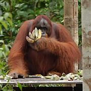 An orangutan female feeding on bananas and sugar cane at a feeding station in Tanjung Puting National Park. Central Kalimantan region, Borneo.