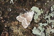 Kent Black Arches - Meganola albula