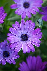 Osteospermum Erato® 'Compact Blue'