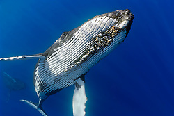 humpback whales, Megaptera novaeangliae, displaying courtship behavior - male aggressively pursuits female while blowing bubbles vigorously, female with well developed colony of parasitic acorn barnacles, Cornula diaderma, Hawaii, USA, Pacific Ocean