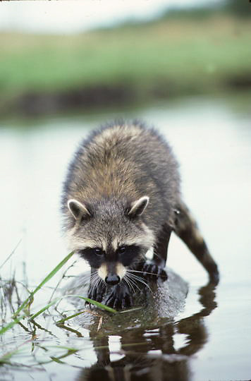 Raccoon, (Procyon lotor) Young female fishing for food on rock in river.Summer .    Captive Animal.