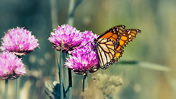 A Monarch Butterfly perched on wild chives on a moody overcast morning in a Wentzville, Missouri field