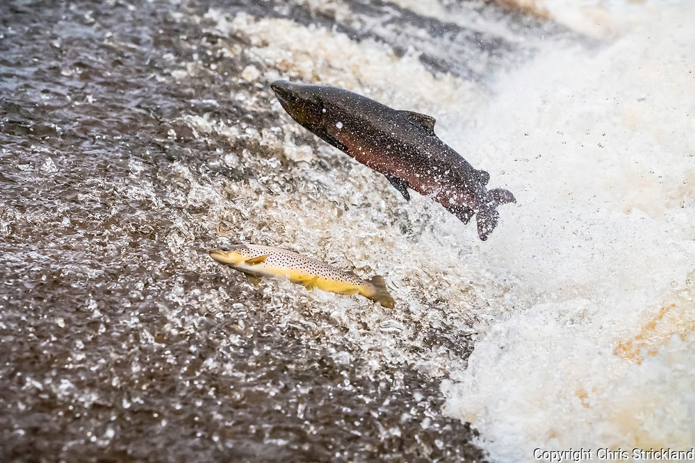 Selkirk, Scottish Borders, UK. 13th October 2017. An Atlantic Salmon (Salmo salar) and Brown Trout (Salmo Trutta) leap upstream over a cauld on the Ettrick Water. A tributary of the River Tweed the Ettrick is the second-fastest rising river in Scotland.
