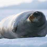 A bearded seal rests on the ice in Lom fijord, Svalbard, Norway
