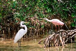 roseate spoonbill, Ajaja ajaja, .fends off great egret, Herodias egretta, .Islamorada, Florida (Gulf of Mexico).