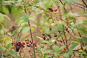 rosehips of Dog rose bush and blackberries in late summer early fall