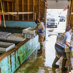 Sue Nelson (right), operations manager, and Ashley Conrad, sorting lobster at Potts Harbor Lobster in Harpswell, Maine.