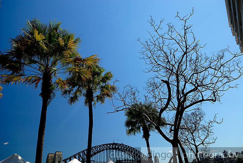Harbour-side trees, with Sydney Harbour Bridge in background. Circular Quay, Sydney, Australia