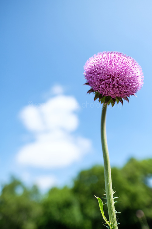 Purple thistle, Big Spring historical and natural area, Great Trinity Forest, Dallas, Texas, USA