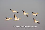 00671-01004 American White Pelicans (Pelecanus erythrorhynchos) in flight  Riverlands Environmental Demonstration Area,  MO