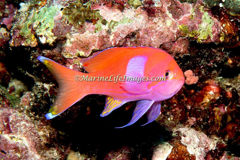 Squarespot Anthias inhabit reefs. Picture taken Banda, Indonesia.