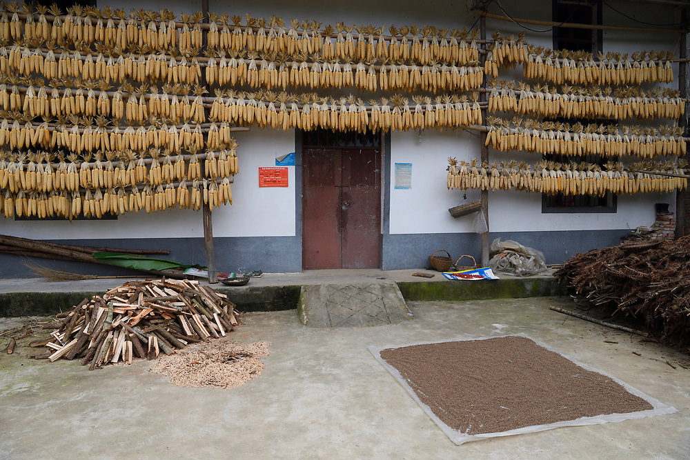 Newly harvested corn cobs, hung up to dry, Yangxian Nature Reserve, Shaanxi, China