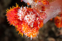 A mass of Egg Cowries on a Soft Coral is visited briefly by a planktonic shrimp.<br /> <br /> <br /> Shot in Indonesia