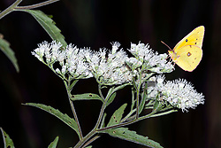 An Orange Sulphur butterfly (Colias eurytheme) on the bloom of Late Boneset (Eupatorium serotinum)