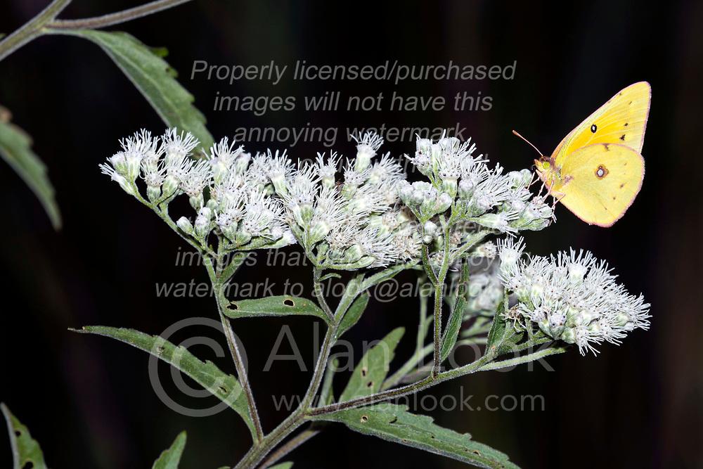 An Orange Sulphur butterfly (Colias eurytheme) on the bloom of Late Boneset (Eupatorium serotinum)