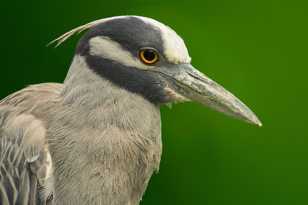 Yellow-Crowned Night Heron chillaxing up on a branch.