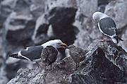 USA, Oregon, Oregon Sea Lion Caves, family of Western Gulls (Larus occidentalis)