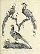 "The ""typical"" pheasant genus Phasianus in the family Phasianidae consists of at least one species. The common pheasant (P. colchicus) has about 30 recognised subspecies forming five or six distinct groups. Copperplate engraving From the Encyclopaedia Londinensis or, Universal dictionary of arts, sciences, and literature; Volume XX;  Edited by Wilkes, John. Published in London in 1825"