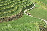 Man walking with his horse on a small path curving the rice fields. Area of Ping'an, Guangxi, China, Asia