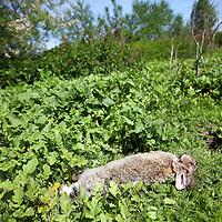 Nederland, Amsterdam , 31 mei 2013.<br /> In het Diemerpark is de laatste tijd Myxomatose bij konijnen vastgesteld.<br /> Myxomatose is een ernstige konijnenziekte met een sterfte van meer dan 90%.<br /> De laatste tijd hebben kinderen de dode konijnen veelvuldig begraven en schijnt het aantal dode konijnen als gevolg van deze  de ziekte te zijn afgenomen.<br /> In the Diemerpark (Amsterdam) the rabbits suffer from myxomatosis. A dead rabbit.
