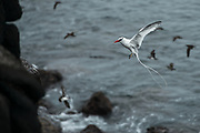 Red-billed tropicbird (Phaethon aethereus)<br /> South Plazas Island<br /> GALAPAGOS,  Ecuador, South America