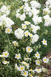 Dianthus 'Mrs Sinkins' with white Helianthemum