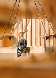 A Red Bellied Woodpecker On My White Swing Feeder Taken Using A Zoom Blur Technique