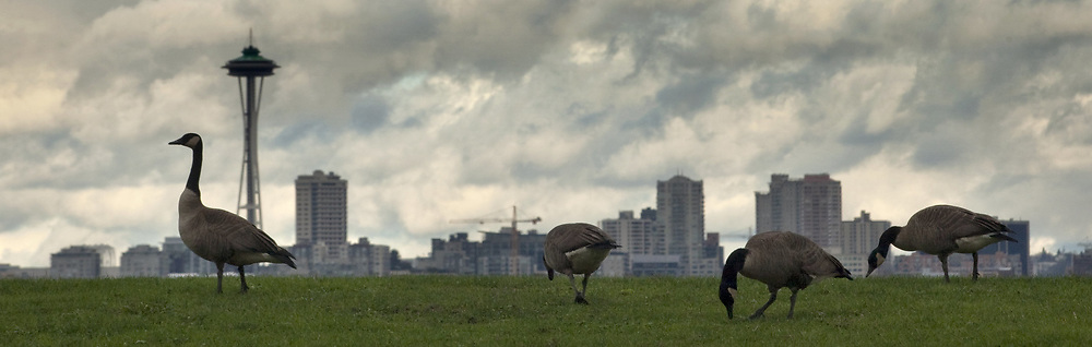 During a break in the rain, Canada geese get a snack in West Seattle as the Seattle skyline peaks above them in the background. (Ellen M. Banner / The Seattle Times)