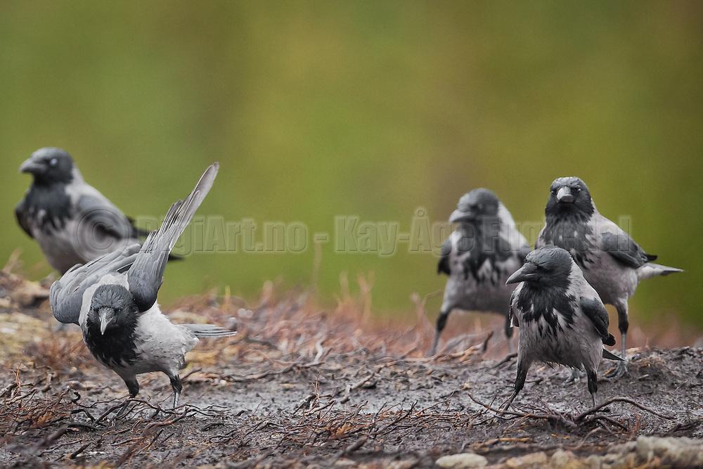 Artige kråker oppfører seg som de er på linedance kurs | Funny Crows actig like they where lindancing.