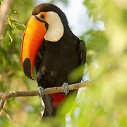 Toco toucan (Remphastos toco), Pantanal, Brazil.