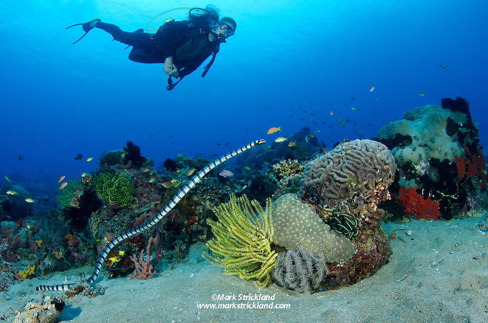 A diver observes as a Yellow-lipped sea krait,  Laticauda colubrine, swims over a healthy reef.  Apo Island, Visayan Sea, Philippines, Pacific Ocean. Model Released