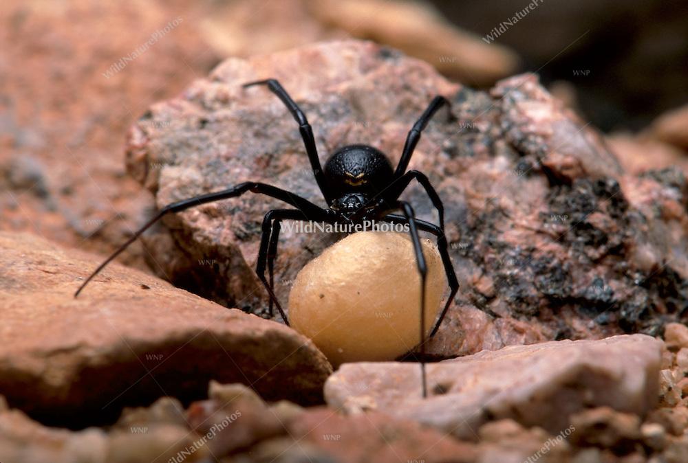 Female Black Widow,  Latrodectus mactans, with egg sac; Sonoran Desert, Arizona