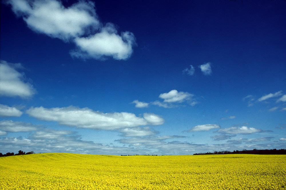 Ireland. Mustard field of yellow.
