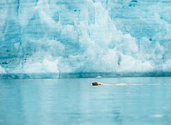 Polar bear (Ursus maritimus) in front of glacier in Hornsund, Svalbard